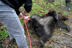 Trzyletni niedźwiedź padł ofiarą kłusowników