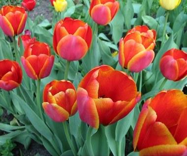 Tulipany - kalejdoskop barw