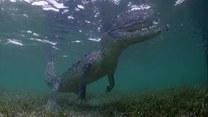 Twarzą w twarz z krokodylami