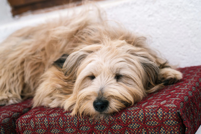 Twój pupil śpi na kanapie? Zobacz, jak po nim posprzątać /123RF/PICSEL