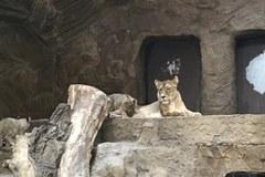 Twoje Niesamowite Miejsce: Lwiarnia w ogrodzie zoologicznym w Gdańsku