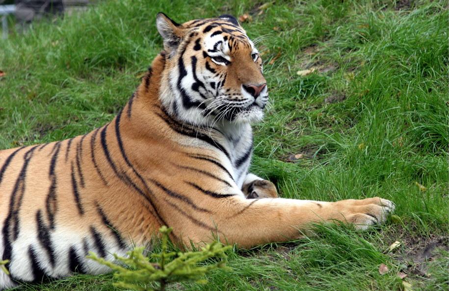 Tygrys amurski, zdj. ilustracyjne /Jacek Bednarczyk /PAP
