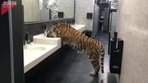 Tygrys w łazience pije wodę z kranu