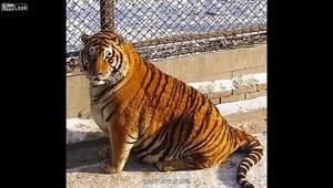 Tygrysy syberyjskie w chińskim zoo