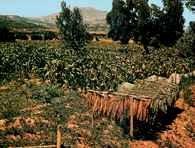 Tytoń, uprawy na Peloponezie, Grecja /Encyklopedia Internautica