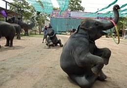 Udomowili słonie
