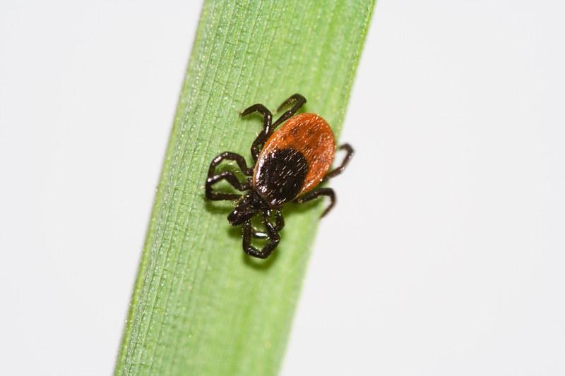 Ukąszenie kleszcza może być bardzo niebezpieczne. Kleszcze najczęściej żyją na liściach krzewów i w trawie /© Panthermedia
