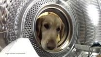 Ukochany miś tego psa wylądował w pralce. Golden ruszył na ratunek