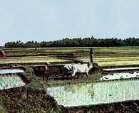 Uprawa ryżu u stóp wulkanu Merapi, na Jawie /Encyklopedia Internautica
