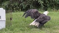 Uratowali topiącego się orła z wody