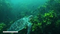 Uratowane żółwie Oscar i Kika wróciły do oceanu