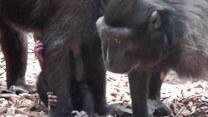 Urocza małpka przyssała się do matki