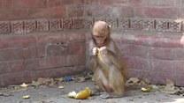 Urocza małpka w pogoni za światłem