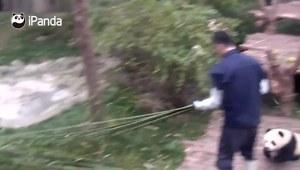 Urocza panda robi wszystko, by uścisnąć opiekuna