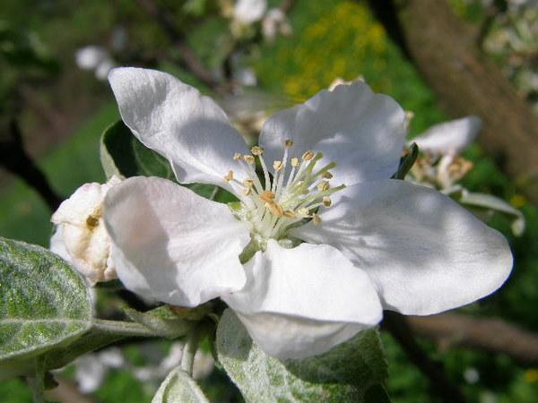 Rozłożył kwiatuszek swe płatki i czeka, czy przyleci pszczółka jeszcze dziś z daleka?