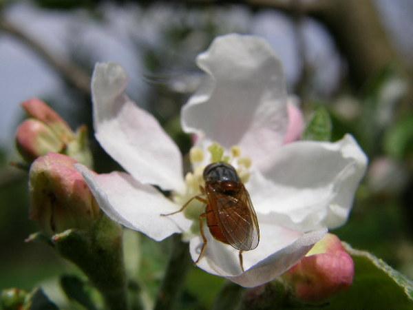 Muszkę też zwabiła uroda kwiatuszka, lecz kwiat się buntuje, szepcze, zmykaj muszka!