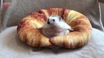 Uroczy jeż relaksuje się w ulubionej poduszce