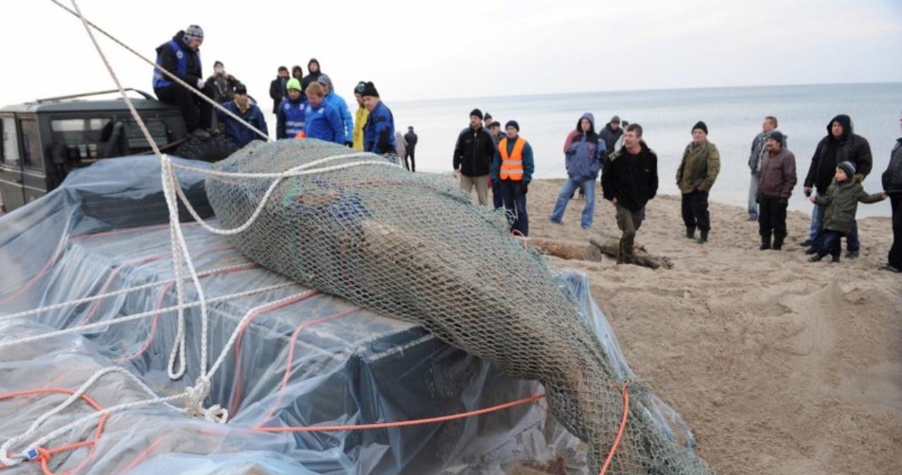 Usuwanie martwego wieloryba z plaży