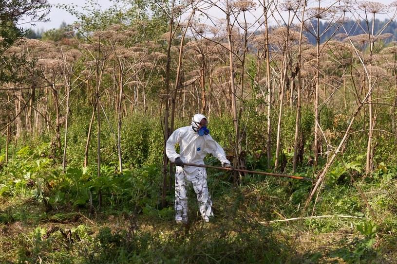 Usuwanie toksycznego barszczu Sosnowskiego /Tomasz Sowa /East News