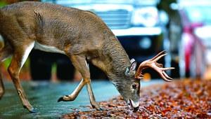 Uwaga na dzikie zwierzęta!