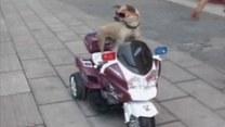Uzdolniony pies robi furorę w Chinach