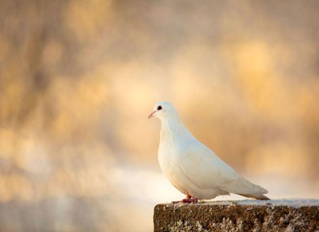 - Użycie gołębia to nic nowego - powiedział dyrektor więziennej policji Paul Bertozzi /123RF/PICSEL