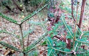 W Fukushimie znaleziono zmutowane drzewa i kwiaty
