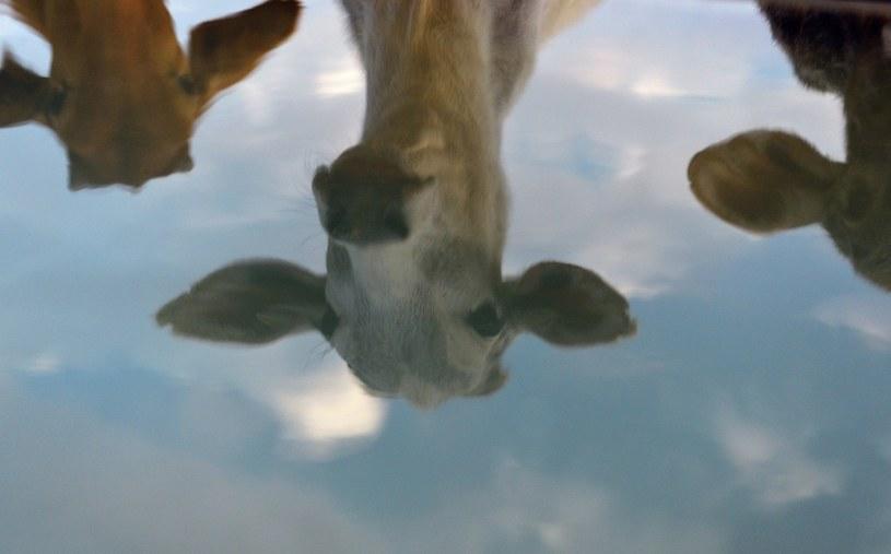 W Indiach krowy mogą liczyć na specjalną ochronę /AFP
