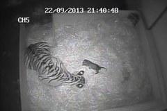 W londyńskim zoo urodził się tygrys sumatrzański