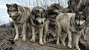 W Lubuskiem grasują watahy wilków. Mieszkańcy przerażeni