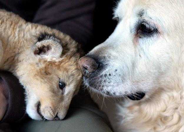 W opiece na lwiątkiem pomaga obecnie pies - Kiki. /Harald Titel /PAP/EPA