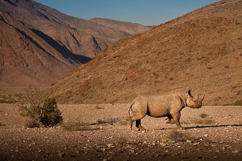 W ostatnich latach populacja nosorożców w Namibii wzrosła /fot. Remy Scalza /The New York Times Syndicate