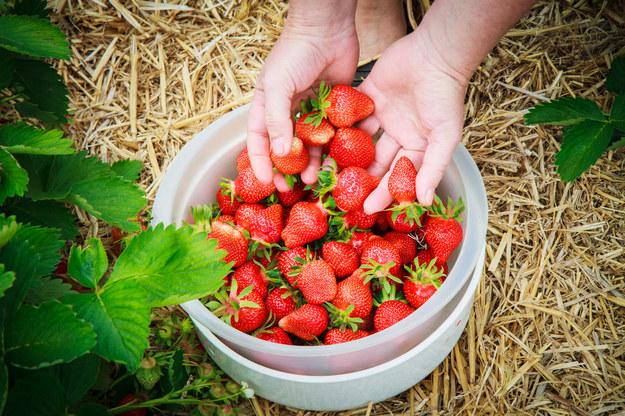 W Polsce przy zbiorze truskawek można zarobić w ciągu pięciu tygodni ponad 3 tys. zł /123RF/PICSEL
