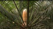 W poznańskiej palmiarni zakwitł sagowiec indyjski. Szyszka ma 70 cm.