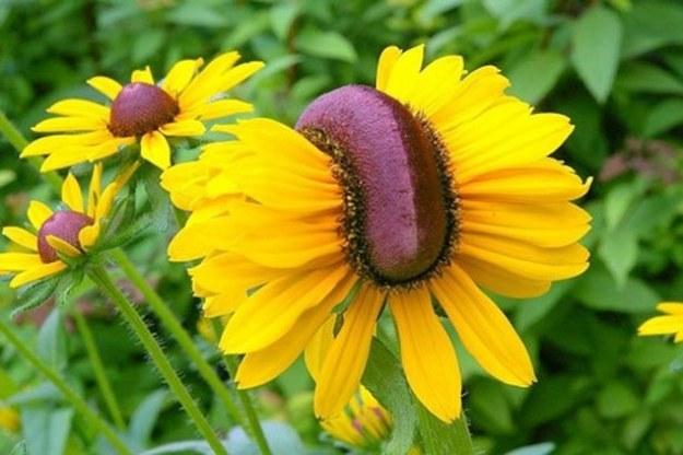 W rejonie Fukushimy wcześniej obserwowano też zmutowane kwiaty /Zmianynaziemi.pl