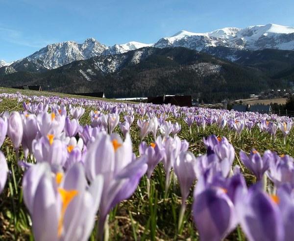 W Tatrach prawdziwa wiosna. Na łąkach kwitnie fioletowy dywan z krokusów/fot. Grzegorz Momot