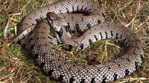 W Wielkiej Brytanii odkryto nowego węża