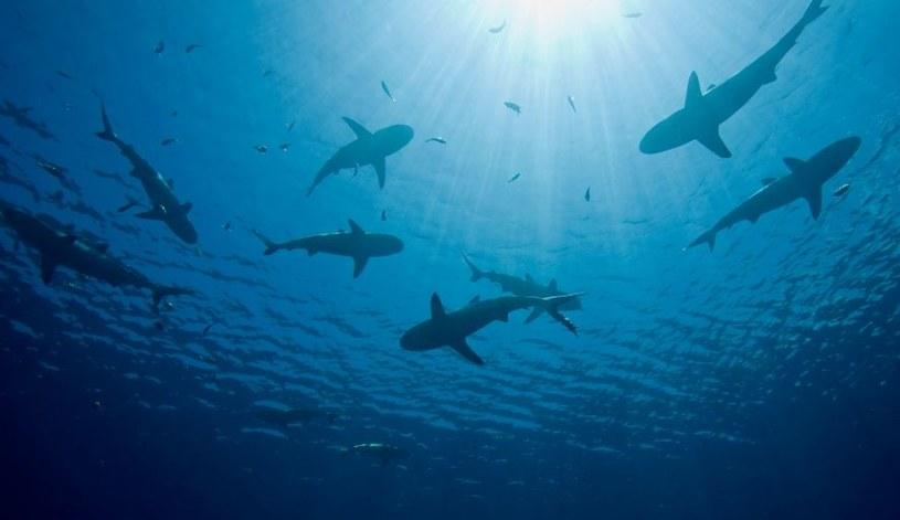 W Zatoce Meksykańskiej rekiny pomagają przewidywać zmiany pogodowe /123RF/PICSEL