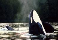 Walenie: orki /Encyklopedia Internautica