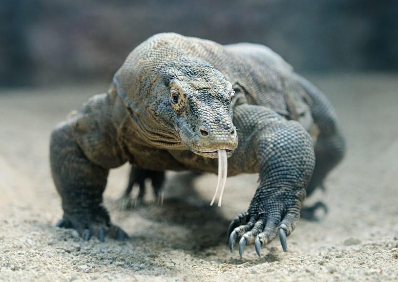Warany z Komodo mają niezwykły rodowód /©123RF/PICSEL