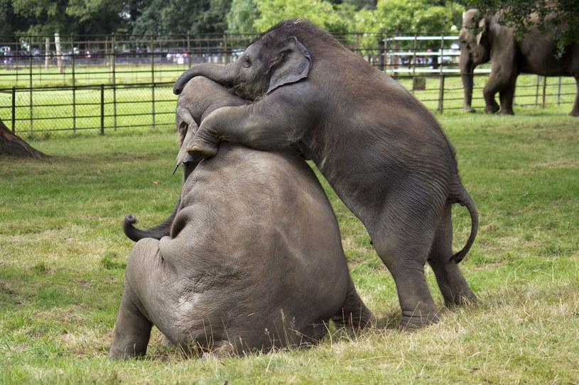 Warto wybrać się na spotkanie z naturą, by spotkać się oko w oko z kultowym na wyspie słoniem indyjskim /©123RF/PICSEL