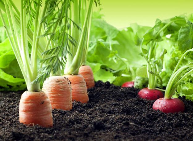 Warzywa prosto z ogródka? Tak! /123RF/PICSEL
