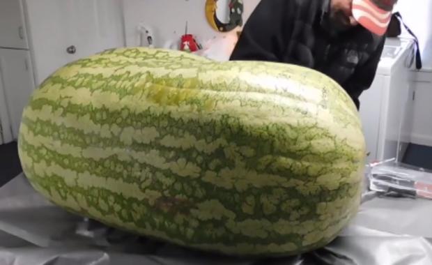 Ważył ponad 130 kg. Amerykańscy rolnicy wyhodowali gigantycznego arbuza