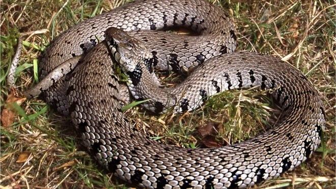 Wcześniej uważano, że Natrix helvetica jest podgatunkiem węża trawiastego /materiały prasowe