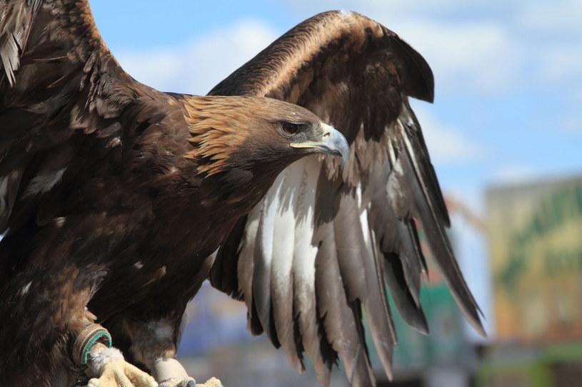 We Francji armia szkoli orły do walki z dronami /©123RF/PICSEL