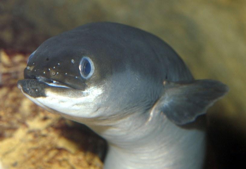 Węgorz europejski - tej ryby w ogóle nie powinniśmy jeść /East News
