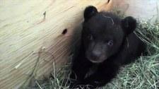 Weterynarze z Władywostoku uratowali niedźwiadka
