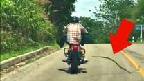 Węże potrafią skakać - tak polują na... motocyklistów!
