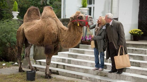 Wielbłąd na Sadybie /Agencja W. Impact