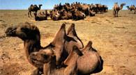 Wielbłądy baktriany /Encyklopedia Internautica